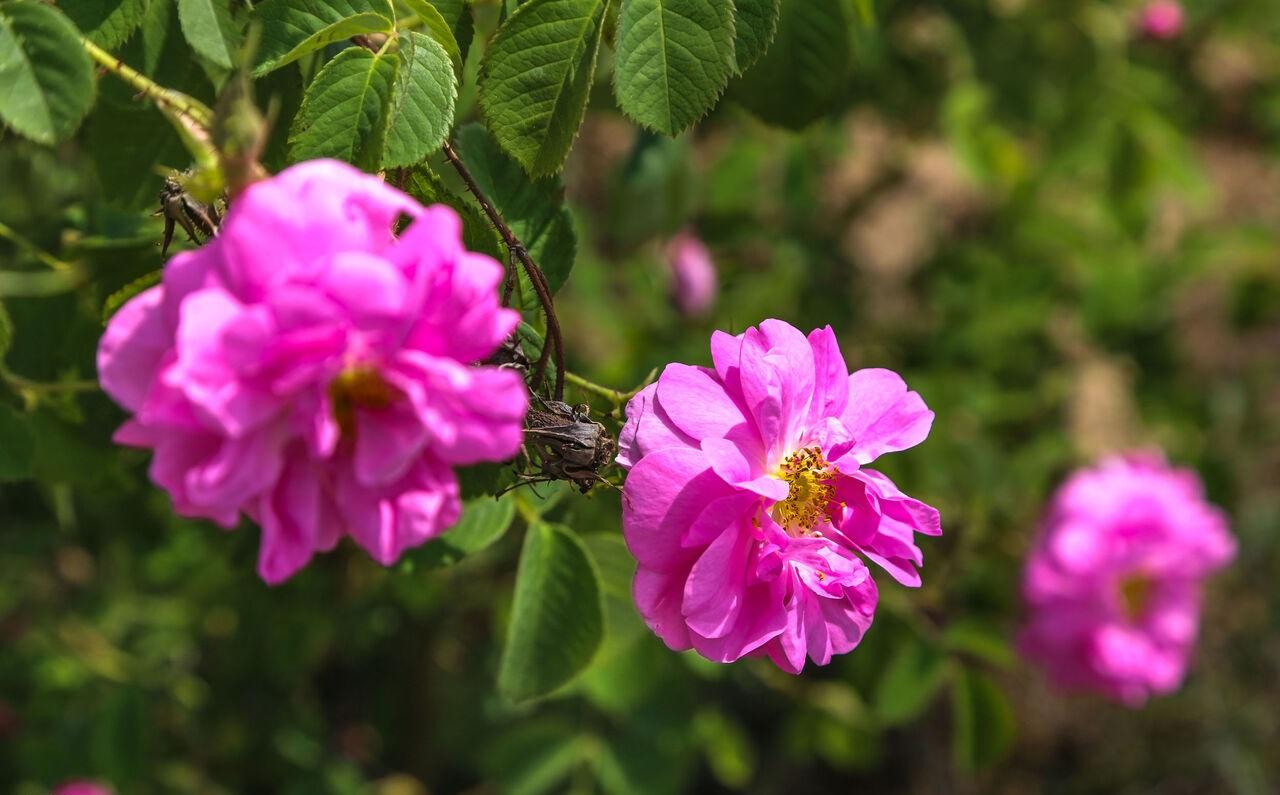 Harvesting rose flowers in Khorasan