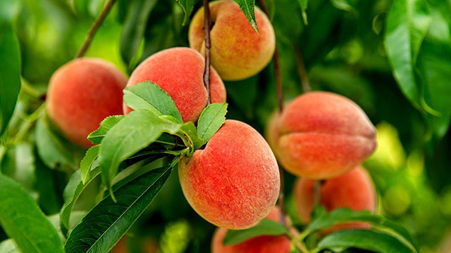 Peach picking in Iran's Golestan