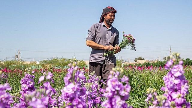 Harvesting flowers in Khuzestan province